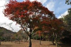 真实的红色秋叶树 免版税库存照片