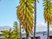 真实的芦荟开花的特写镜头在加那利群岛 免版税库存图片