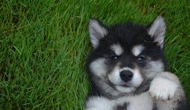 真正地一只Alusky小狗的甜接近的面孔在他的  图库摄影