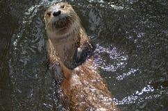 真正地漂浮在他的逗人喜爱的河中水獭  免版税库存图片