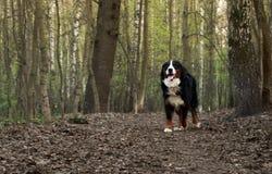 真正地美丽的伯尔尼的山狗 大犬座-伯尔尼的山狗! 库存照片
