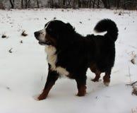 真正地美丽的伯尔尼的山狗 库存图片