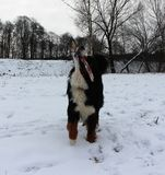 真正地美丽的伯尔尼的山狗 免版税库存照片