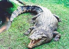 真正地野生澳大利亚鳄鱼 库存图片