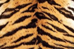 真正的毛皮老虎美好的纹理  免版税库存图片