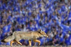 真正的狐狸莱斯特市橄榄球俱乐部墙纸 图库摄影