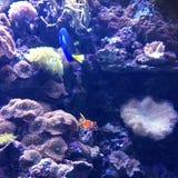真正的生活Nemo和海鲂 库存图片