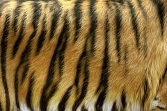真正的老虎皮肤纹理  图库摄影