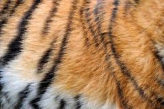 真正的老虎皮肤纹理  免版税库存图片