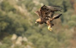 真正的老鹰做在岩石的一次飞行 图库摄影