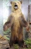 真正的被充塞的棕熊 免版税库存照片