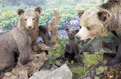 真正的被充塞的熊 免版税库存照片