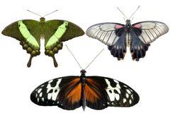 真正的蝴蝶在白色背景-集合01分离 免版税图库摄影