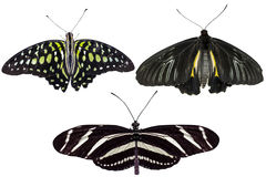 真正的蝴蝶在白色背景-集合05分离 免版税图库摄影