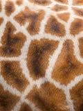 真正长颈鹿皮革皮肤 库存图片