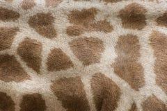 真正长颈鹿皮革皮肤 图库摄影