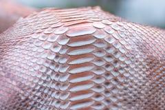 真正Python snakeskin皮革,蛇皮,纹理背景 在背景的游泳池 免版税库存照片