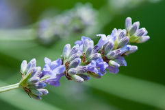 真的淡紫色(熏衣草属angustifolia) 免版税库存图片
