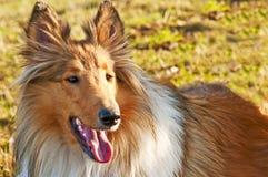 真美国养殖的大牧羊犬 免版税库存照片