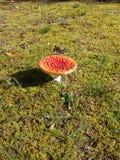 真菌伞形毒蕈自然海绵自然 免版税库存图片