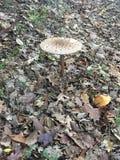 真菌在秋天 免版税库存图片