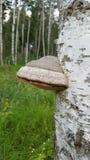 真菌树干 库存照片