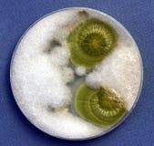 真菌生长 免版税库存图片