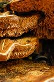 真菌蘑菇橙色棕色生长在forrest地面 免版税库存图片