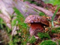 真菌蘑菇 图库摄影