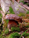 真菌蘑菇 库存照片