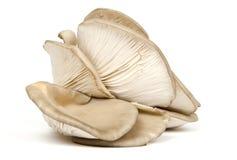 真菌采蘑菇牡蛎 库存图片