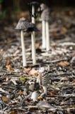 真菌-鹊真菌-鬼伞属Picaceus 图库摄影