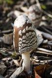 真菌-鹊真菌-鬼伞属Picaceus 库存图片