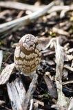 真菌-鹊真菌-鬼伞属Picaceus 免版税图库摄影