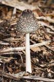 真菌-鹊真菌-鬼伞属Picaceus 库存照片