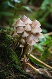 真菌- Mycena sp - Mycena Inclinata 免版税库存图片