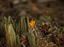真菌stagshorn黄色 库存图片