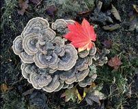 真菌turkeytail 库存照片