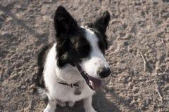 眨眼睛在小山的博德牧羊犬 免版税库存图片