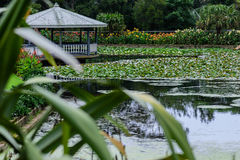 眺望台在有开花的荷花的池塘 库存照片
