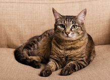 绿眼的猫画象 免版税图库摄影
