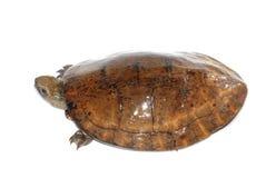 眼睛四被察觉的乌龟 库存图片