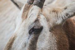 眼睛山羊 免版税库存照片