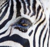 眼睛斑马 免版税库存图片