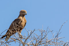 眼睛明亮的布朗蛇老鹰 库存图片