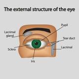 眼睛的外在结构 向量 免版税库存图片