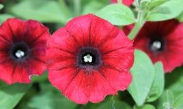 黑眼睛的红色Calibrachoa 免版税库存照片