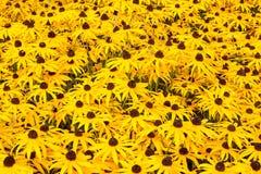 黑眼睛的苏珊植物 免版税图库摄影