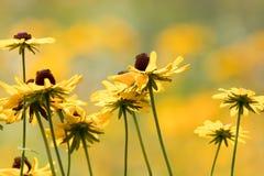 黑眼睛的苏珊的领域在金黄高峰颜色,选择聚焦开花(黄金菊) 免版税库存照片