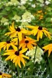 黑眼睛的苏珊花卉生长在庭院里 库存照片